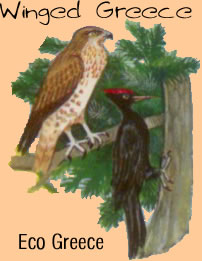 eco greece - eleanora falcon and woodpecker